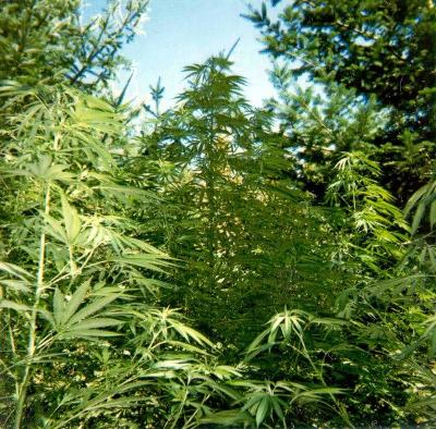 growing marijuana outdoors2