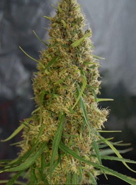 light of jah cannabis seeds