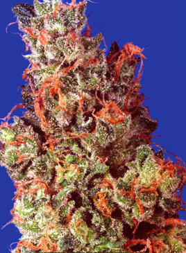 caramelicious best indoor cannabis strains