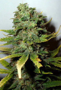super skunk best indoor cannabis strain