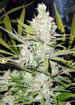 super silver haze feminised cannabis seeds