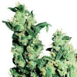 jack herer medical cannabis