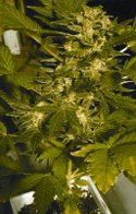feminised autoflowering camnnabis seeds