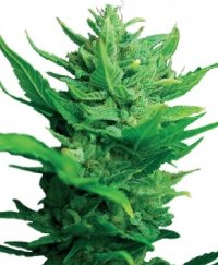 think different auto-flowering feminised cannabis seeds