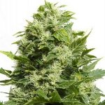 Buddha Cheese - best cheese seeds