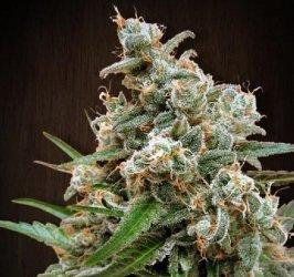 Ace Seeds Nepal Jam Standard Marijuana Seeds