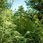 grow marijuana outdoors