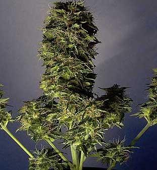 lowryder seeds
