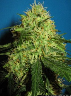 big bud seeds - regular and feminized