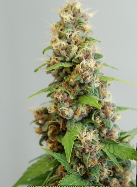 le fruit defendu cannabis seeds
