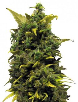 blue cheese barneys farm cannabis seeds