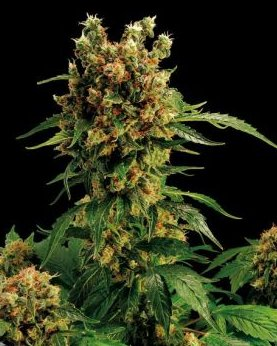 blue hash feminized cannabis seeds