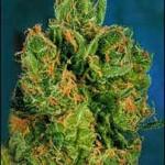 Power Plant Dutch Passion Feminized Marijuana Seeds
