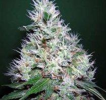 buble gum serious seeds cannabis