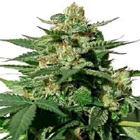 serious seeds bublegum cannabis