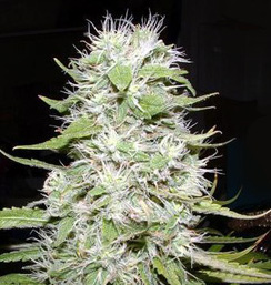 hawaiian skunk cannabis seeds