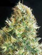 kali mist cannabis seeds
