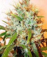 serious seeds kali mist cannabis