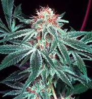 shark shock mr nice cannabis seeds