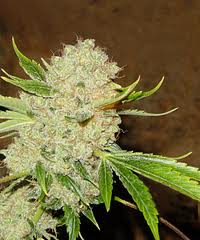 white russian cannabis seeds