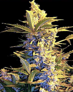 feminised cannabis seeds easy rider indoor auto-flowering