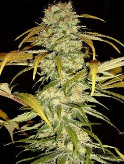 hawaiian skunk waikiki qeeun cannabis seeds uk
