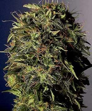 lowryder cannabis