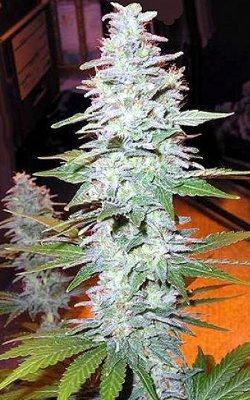 black widow cannabis seeds mr nice