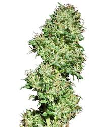 mr nice cannabis seeds critical haze