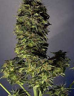 lowryder auto-flowering indoor cannabis seeds