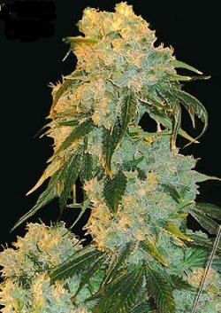northern lights indoor feminised seeds