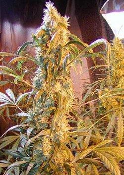 mango white widow mr nice cannabis seeds