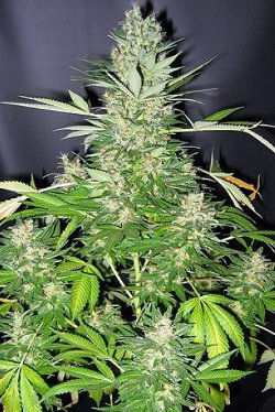 master kush x skunk mar nice cannabis seeds