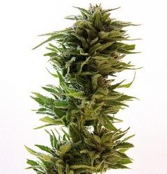 Barney's Farm Amnesia Lemon Feminized Marijuana Seeds