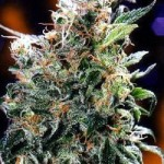 California Orange Dutch Passion Feminized Marijuana Seeds