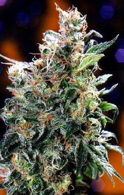 californian orange cannabis dutch passion