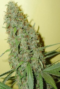 cheese cannabis seeds uk