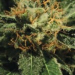 Diamond Girl Green House Seed Co Feminized Marijuana Seeds