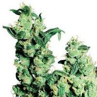 jack herer medical cannabis