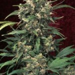 Dutch Passion Strawberry Cough Feminized Marijuanana Seeds