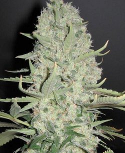white widow x big bud feminised seeds UK