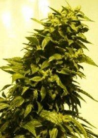 auto ak47 autoflowering feminised cannabis seeds