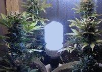 lowryder autoflowering indoor