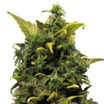 blue cheese - best cheese seeds