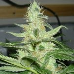 Cheese Wreck seeds