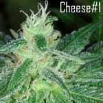 cheese#1 seeds - best cheese seeds
