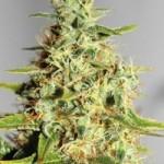 Acapulco Gold Feminized Marijuana Seeds from Barney's Farm