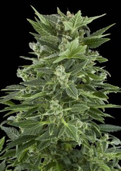 royal automatic feminised cannabis seeds