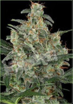 cheese cannabis autoflowering feminised
