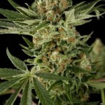 cloud 9 feminised cannabis seeds dinafem